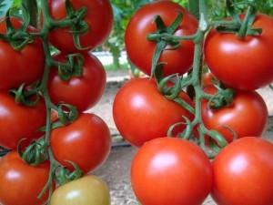 salkım domates