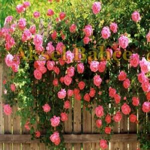 Sarmaşık-Gülleri
