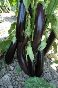 aydın siyahı patlıcan