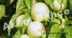 beyaz_nektarin-300x159