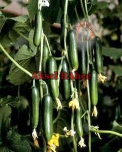 sırık badem salatalık
