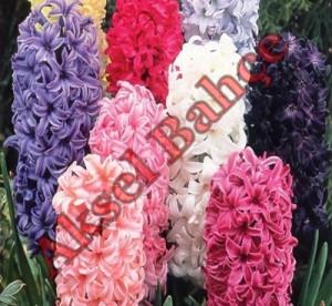 Mevsimlik Çiçek Çeşitleri