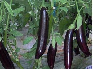 karnas patlıcan