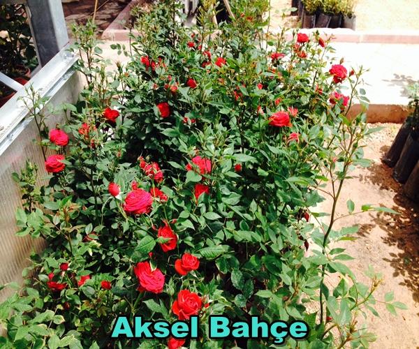 Aksel Bahçe