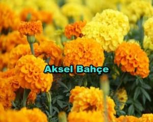 -marigolds-marigold-flower-1571641-480x320
