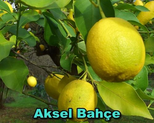 citrus_limon_kutdiken_2007_12_04