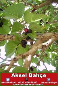 ekşi karadut meyvesi-vert