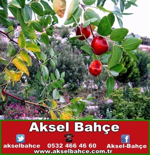 Hünnap Fidanı Ankara Aksel Bahce Ankara Meyve Fidanı Sebze Fidesi