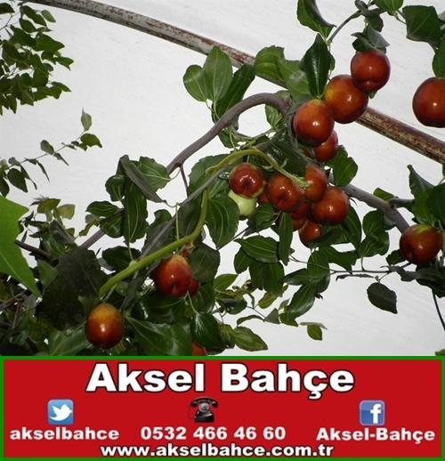 Hünnap Meyve Fidanı Aksel Bahce Ankara Meyve Fidanı Sebze Fidesi Süs