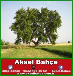 çınar ağacı-vert