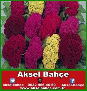 Horoz-ibiği-çiçeği-vert