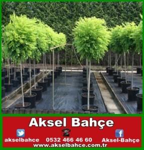 akasya ağacı-vert
