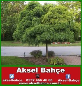 akasya-vert