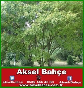 akcaagac3-vert
