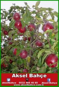 Bodur Jersey Mac Elma Meyve Fidanı