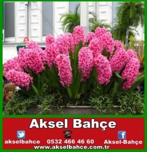 pink-sümbül-vert