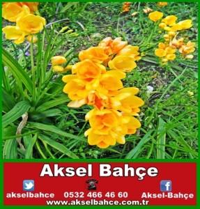 Sarı Şebboy Çiçeği-vert