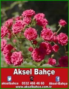 article-page-main_ehow_images_a06_9s_no_prune-mini-rose-bush-800x800-vert