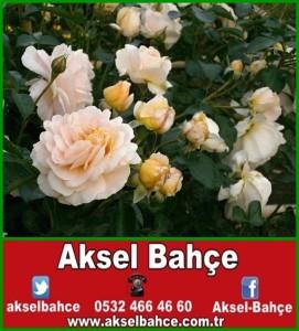 rose-123308_640-vert