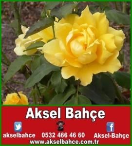 sarı-güller-600x450-vert