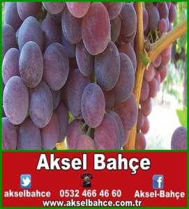 table grape cardinal-vert