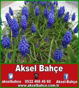 üzüm-sümbülü_43052-vert