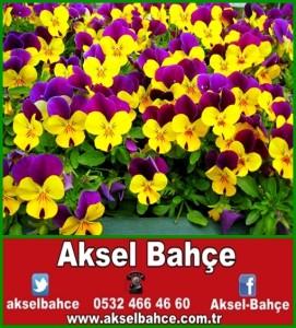 16176-safak07-menekse-3926-950px-vert