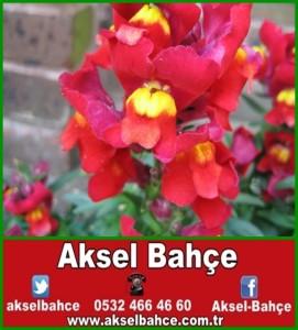 Antirrhinum-pink-orange-yellow-flowers-and-buds-in-May-in-garden-in-Kingston-London-England-3-JR-vert