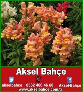 aslanagzi-cicegi-resimleri_943831-vert