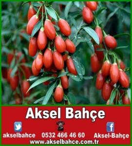 Chinese Goji Berries 2007. Image shot 2007. Exact date unknown. ACY81M