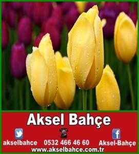 tulips-tulip-flowers-flower-bud-petals-dew-drops-spring-nature-vert