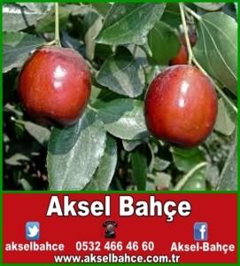 Hünnap Meyvesi Nerede Satılır Aksel Bahce Ankara Meyve Fidanı Sebze