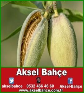 Almond-harvest_091112_235MOD1-1154x450-vert