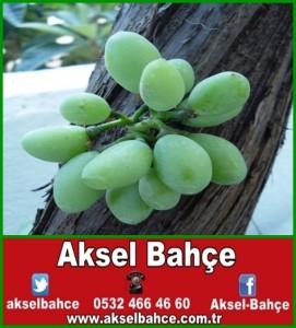 asma-agaci-govdesinde-uzum-salkimi-olustu-01-vert