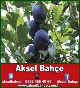 black_amber_erik-vert