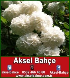 Free-shipping-Flower-seeds-white-Hydrangea-seeds-font-b-evergreen-b-font-woody-flowering-98-survival-vert