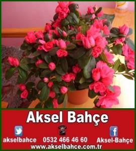 açelya_33-vert