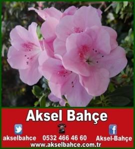 acelya-cicegi-resimleri_998966-vert