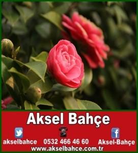 kamelya-camellia-japonica--61ddab-vert