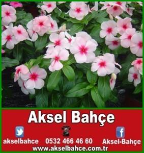 pervane-cicegi-vinca-rosea-catharanthus-roseus-9d1e30-vert