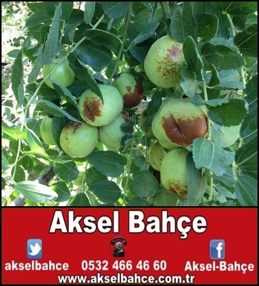 Hünnap Fidanı Resim Ve Video Aksel Bahce Ankara Meyve Fidanı Sebze