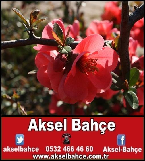 Bahar Dalı Aksel Bahce Ankara Meyve Fidanı Sebze Fidesi Süs
